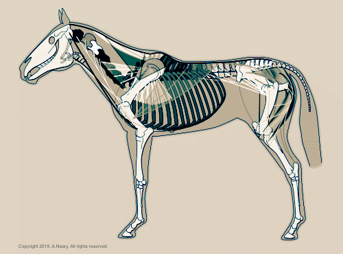 Equine Movement Muscles